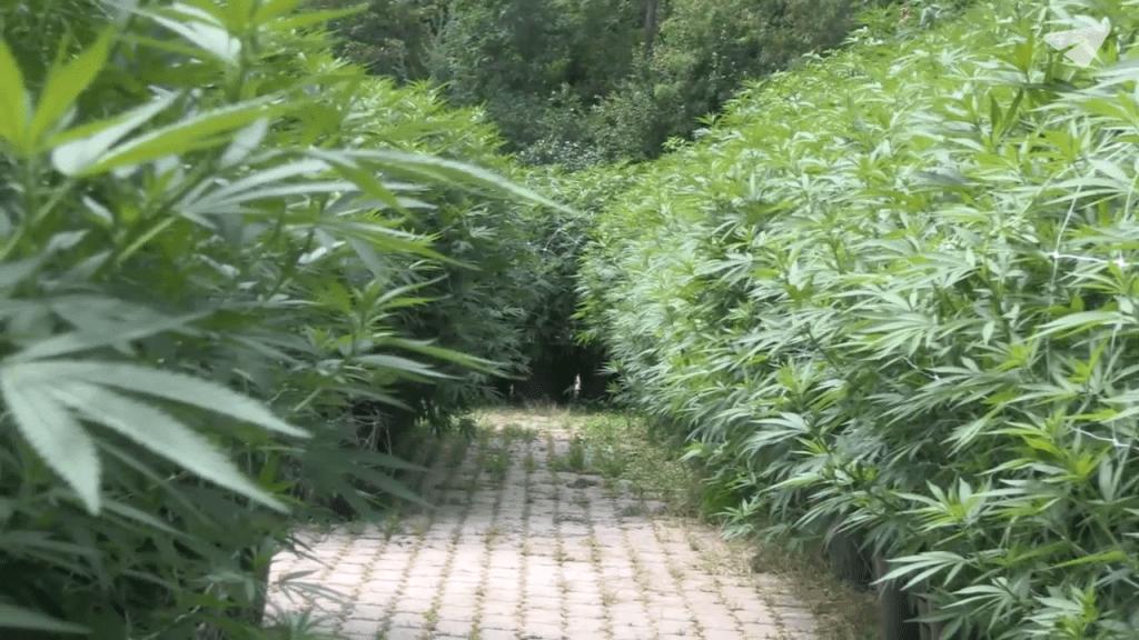 Cannabis Plans