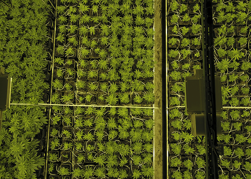DEOM Production - Indoor cannabis plants from above