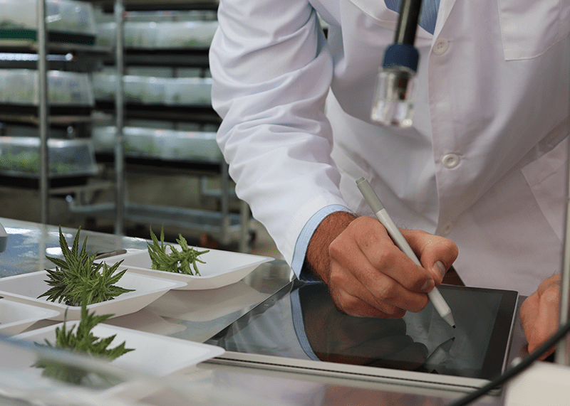 Examination of cannabis plants in the Puregene laboratory